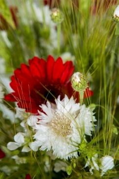 bouquet, champêtre, rouge, blé, silène, gerbera, bleuet