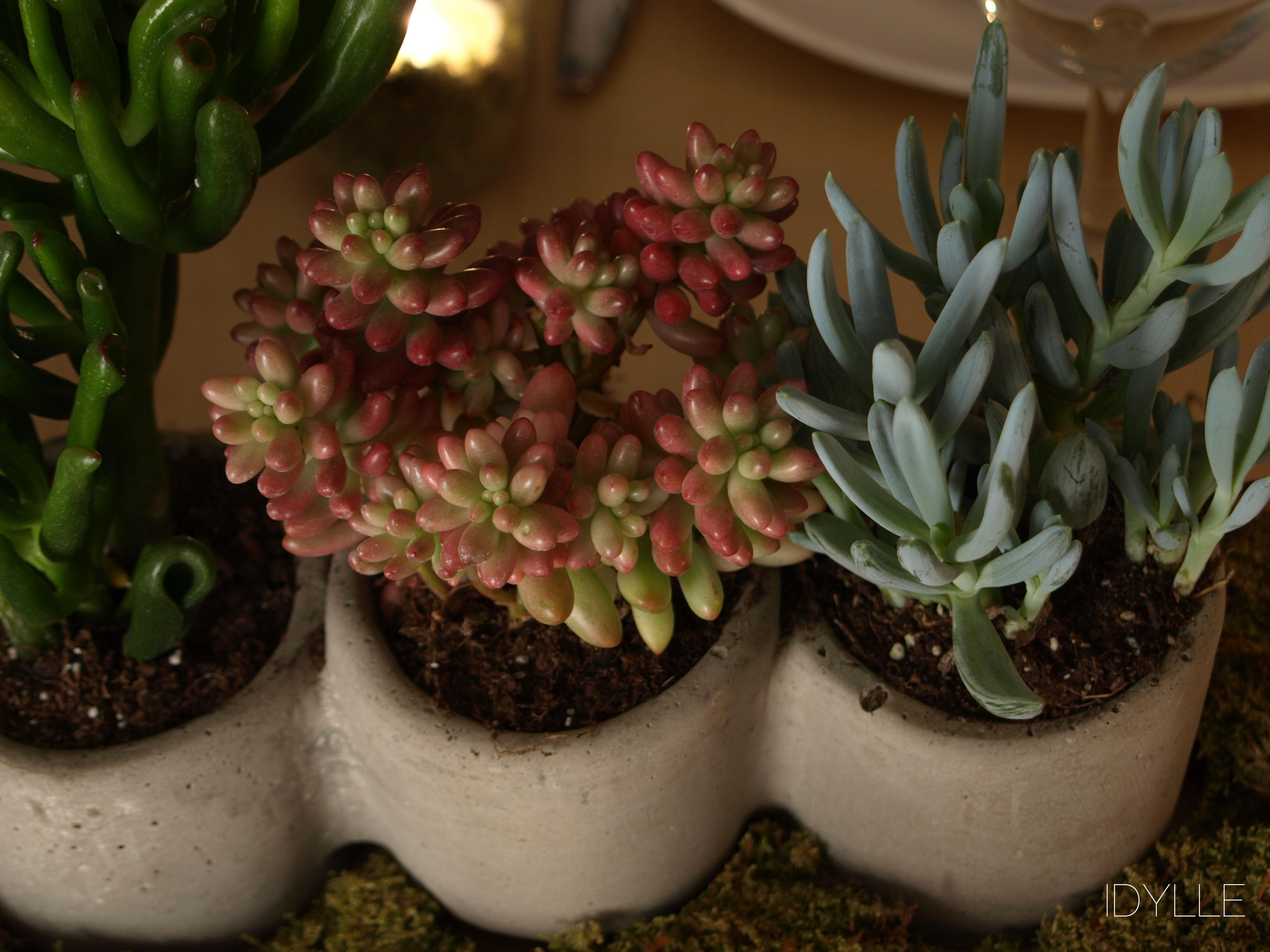 Succulente idylle fleuriste - Plante grasse rouge ...